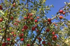Anjas-Apfelbäume
