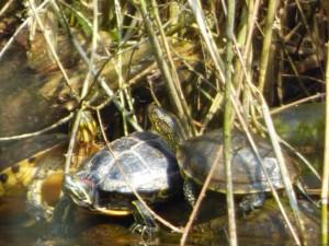 Europäische Sumpfschildkröte rechts und Rotwangenschildkröte links 25.März 2015 Foto Deichfuß