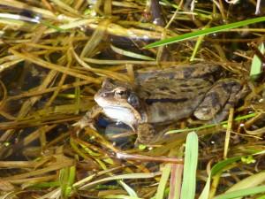 Grasfrosch im Laichgewässer Fot Deichfuß