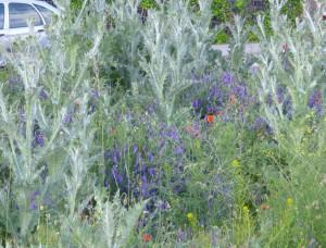 Wildblumen auf Parkplatz 22.05.15 Foto Deichfuß