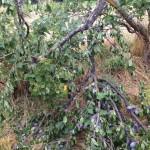 Sturmschäden Pflaumenwiese