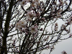 Mandelblüte im Januar!!